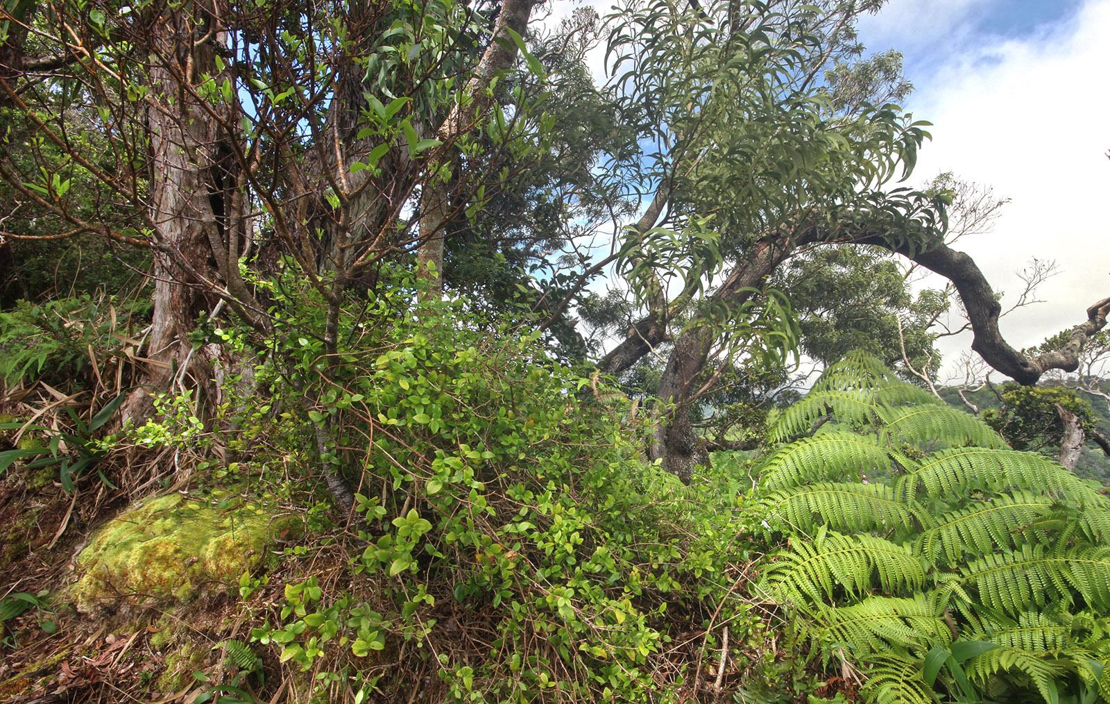 Maile plante hawaii
